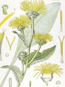 Botanical drawing of elecampagne (Inula helenium) illustration from Kohler's Medizinal Pflanzen, 1887