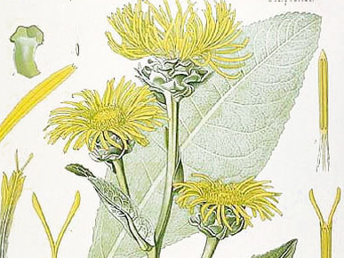Botanical drawing of elecampagne (Inula helenium) illustration from Kohler's Medizinal Pflanzen, 1887