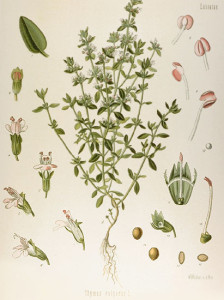 Botanical drawing of thyme (Thymus vulgaris) from