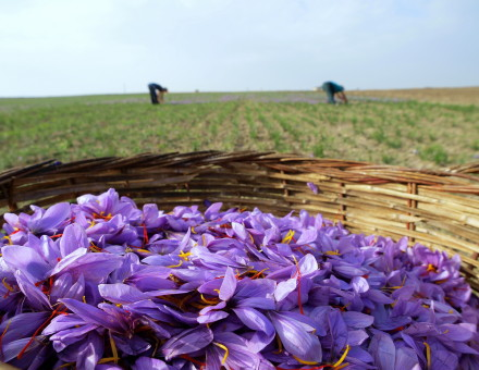 saffron flowers in basket with pickers behind