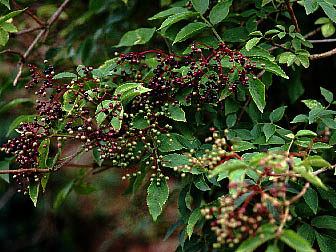 Elder tree with berries just ripening