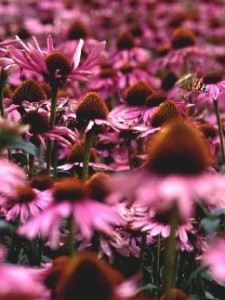 field of Echinacea purpurea flowers