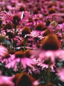 field of Echinacea purpurea flowers