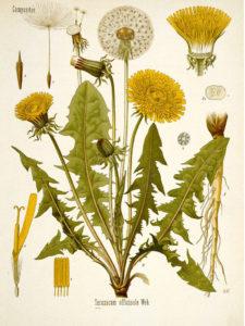 Sketch (Kohler) of Dandelion and its parts