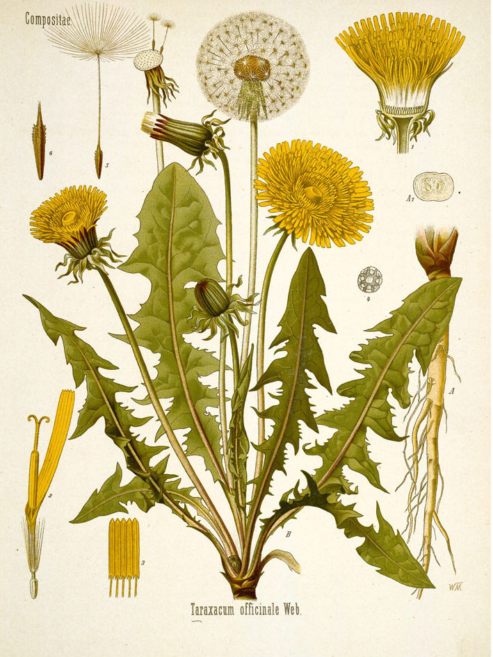 Sketch (Kohler) of Dandelion and its parts