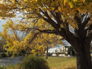 Gingko tree, Christchurch NZ - golden leaves