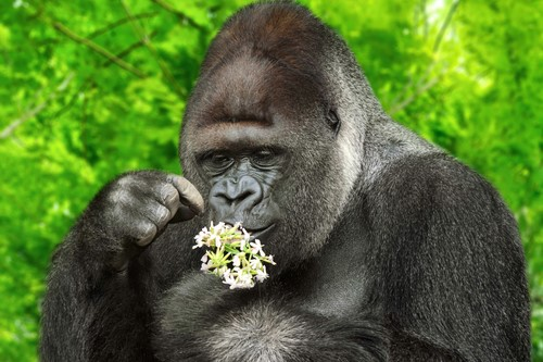 an ape inspecting a flower