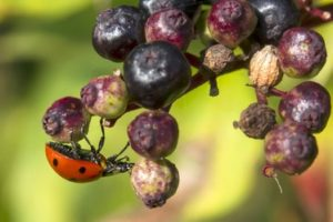 elderberry and ladybug