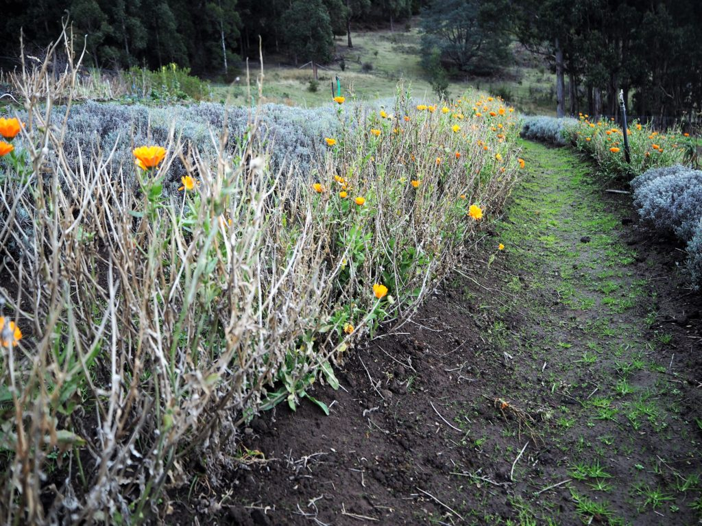 wintry row of calendula with few flowers